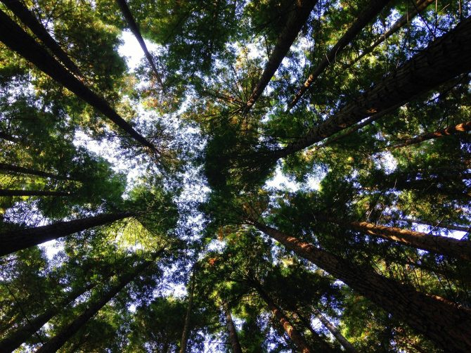 Looking upwards in a forest at multiple trees